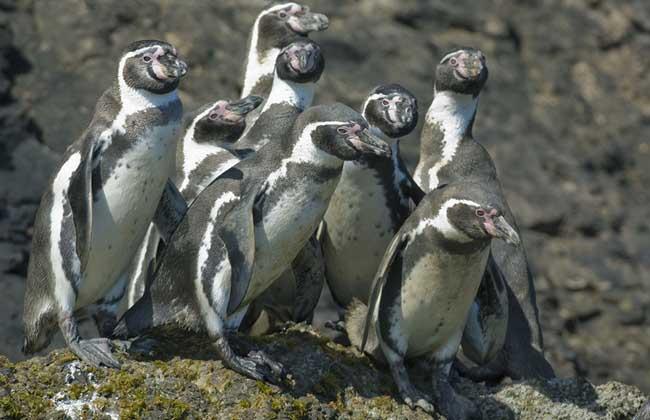 加岛环企鹅