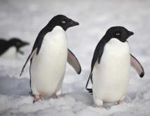 企鹅种类图片大全