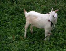 白山羊品种图片大全