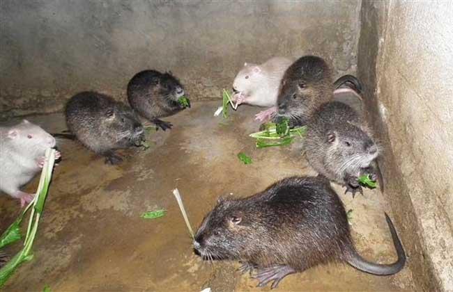 海狸鼠养殖技术