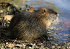 海狸鼠多少钱一斤?