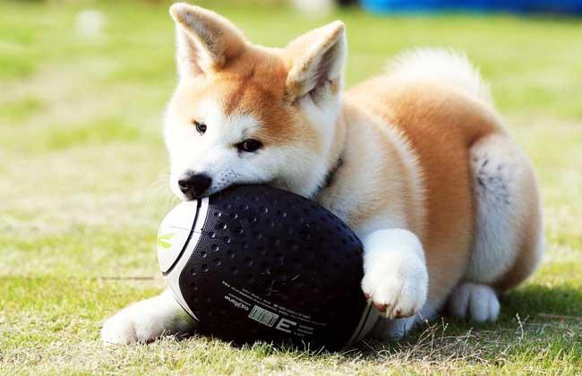 秋田犬多少钱