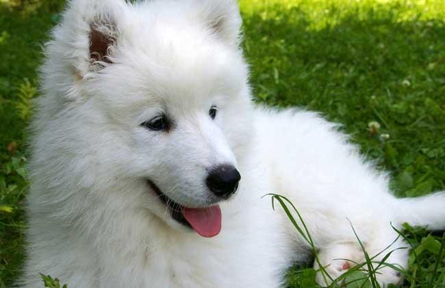 萨摩耶犬吃什么狗粮好?