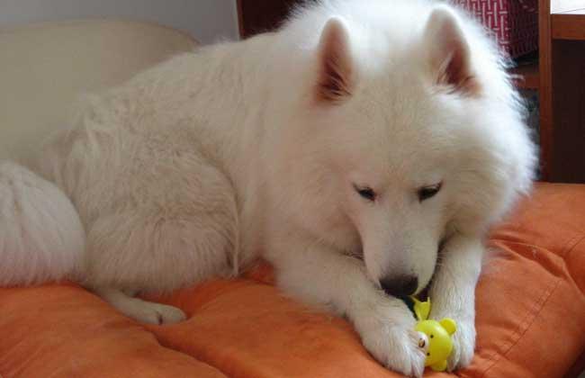 萨摩耶犬的智商高吗?