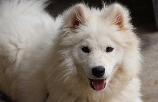 萨摩耶犬图片大全