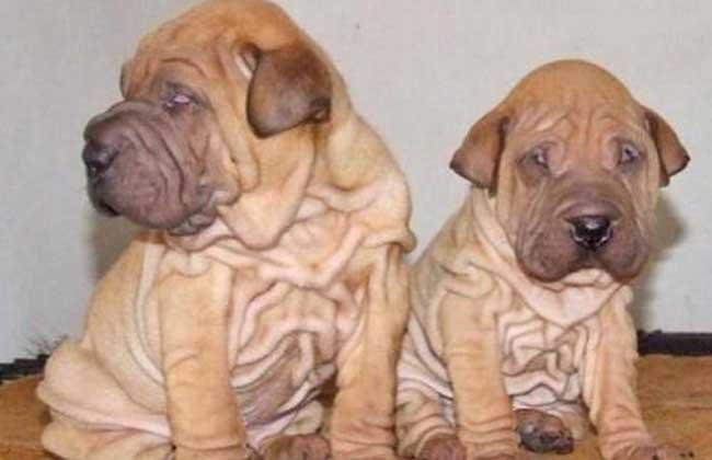 沙皮狗能看家吗_斗牛犬和沙皮狗是一个品种吗?-这个狗是斗牛犬还是沙皮狗还是 ...