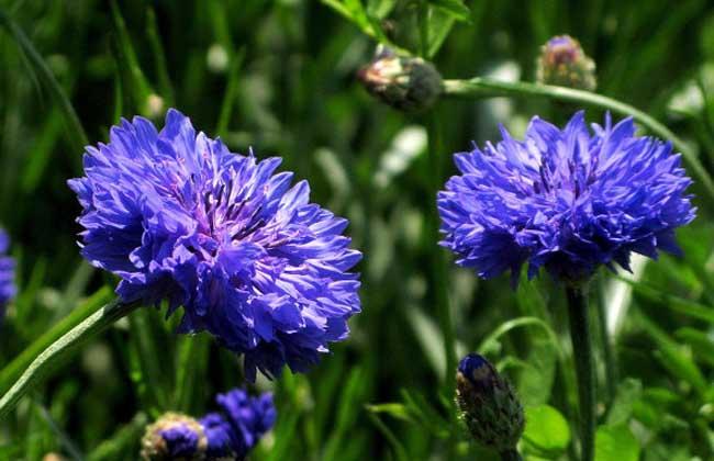 矢车菊的养殖方法