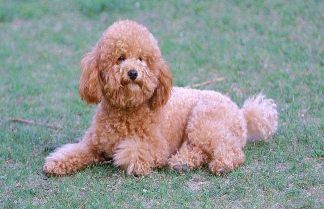 泰迪犬多少钱一只?
