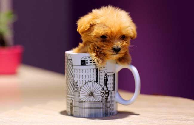 茶杯泰迪犬多少钱一只?