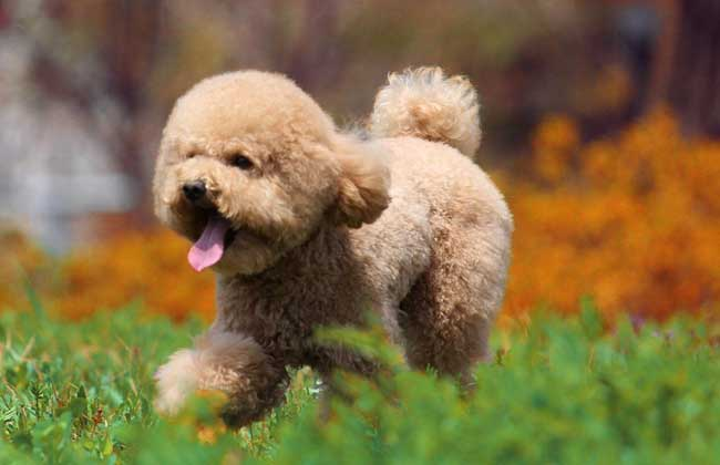 泰迪狗怎么养才好?