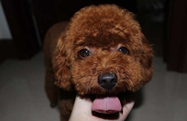 泰迪犬怎样训练?