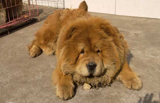 松狮犬多少钱一只