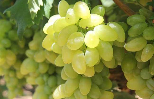 金手指葡萄种植技术