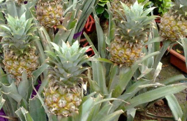 盆栽菠萝的种植方法