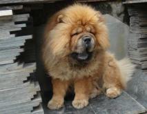 松狮犬种类图片大全