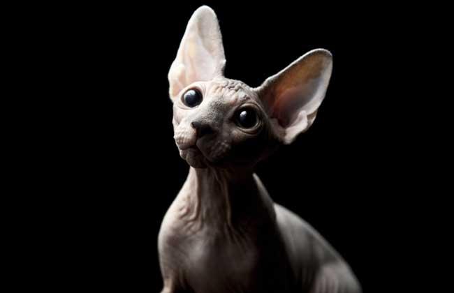 斯芬克斯猫多少钱一只?