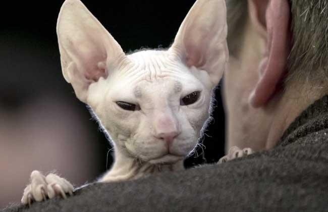 斯芬克斯猫多少钱