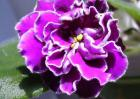 盆栽紫罗兰怎么养?