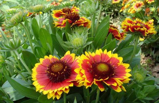 天人菊的种植方法