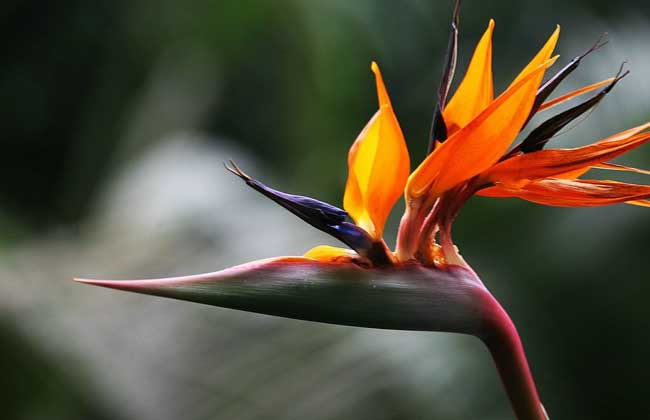 盆栽天堂鸟花怎么养?