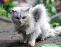 天使猫真的存在吗?