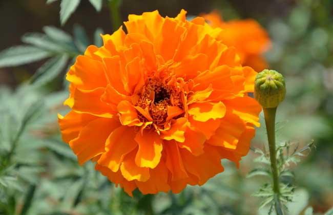 盆栽万寿菊怎么养?