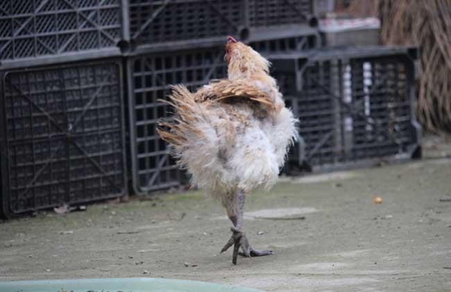 金阳丝毛鸡