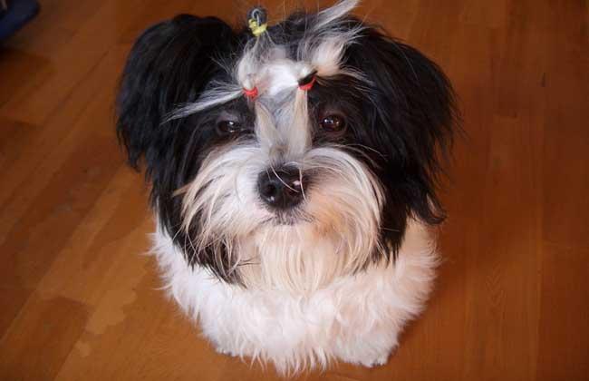 西施犬好养吗_沙皮犬好养吗_中国沙皮犬好养吗