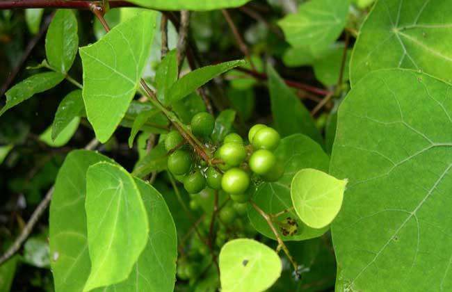 金果榄_2,治急性肠胃炎:血散薯,金果榄,黄牛木各10克,煎服.