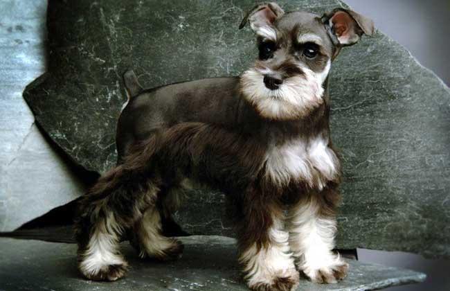 雪纳瑞犬多少钱一只?