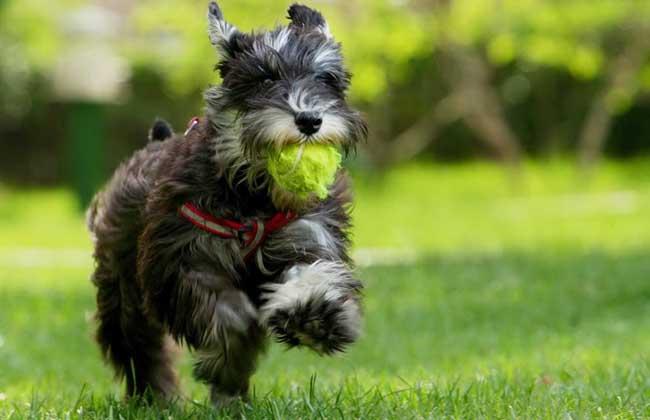 雪纳瑞犬好养吗?