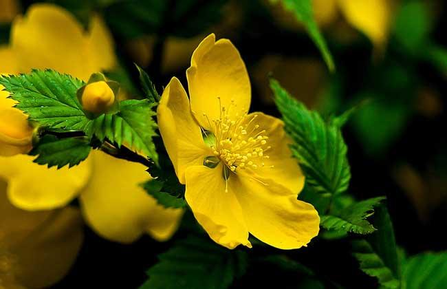 棣棠花的种植技术