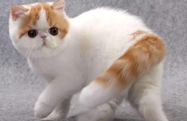 异国短毛猫多少钱一只?