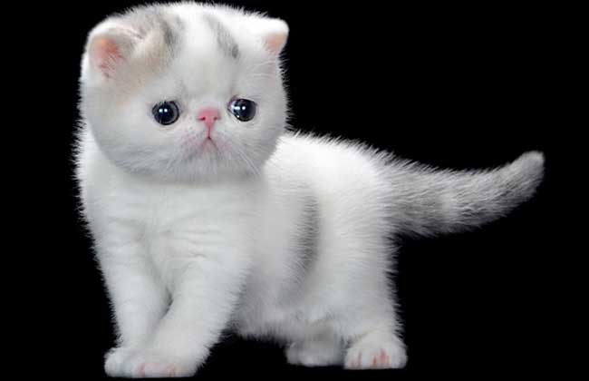 异国短毛猫怎么饲养?