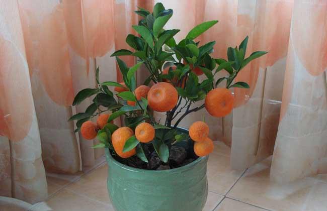 盆栽橘子树