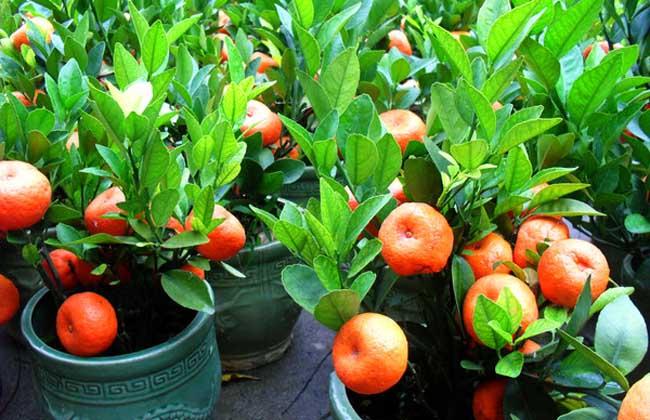 种植技术 水果种植 > 正文  盆栽橘子树由于盆土中的养分被果树吸收或