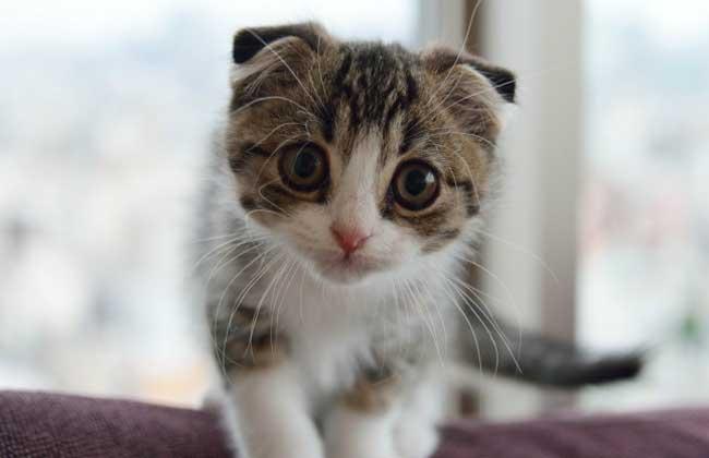 苏格兰折耳猫多少钱一只?