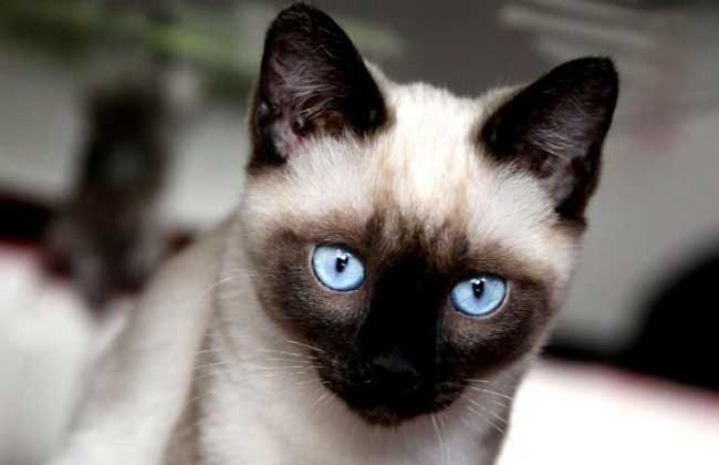 暹罗猫多少钱一只?