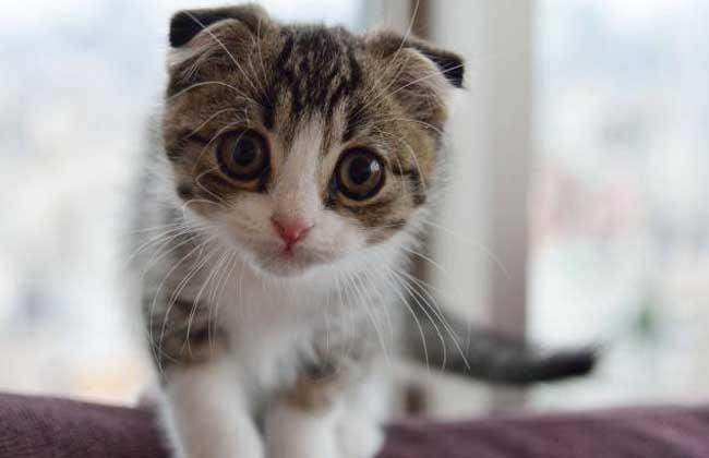 苏格兰折耳猫怎么养?