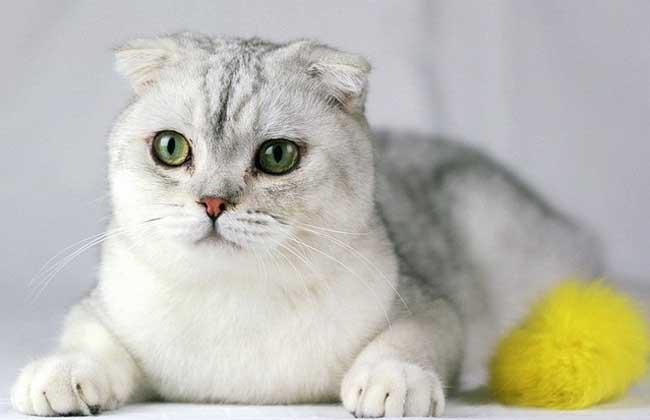 苏格兰折耳猫怎么养