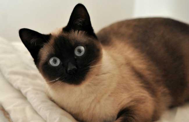 暹罗猫怎么养