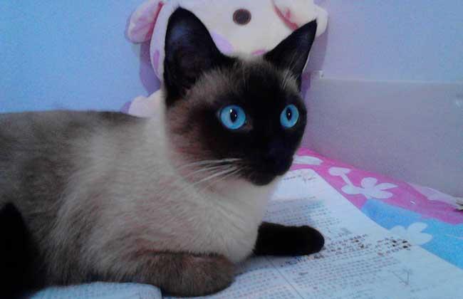暹罗猫性格