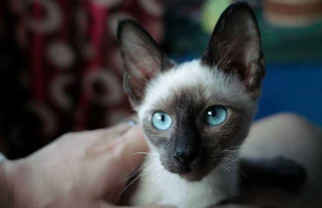 暹罗猫怎么训练?