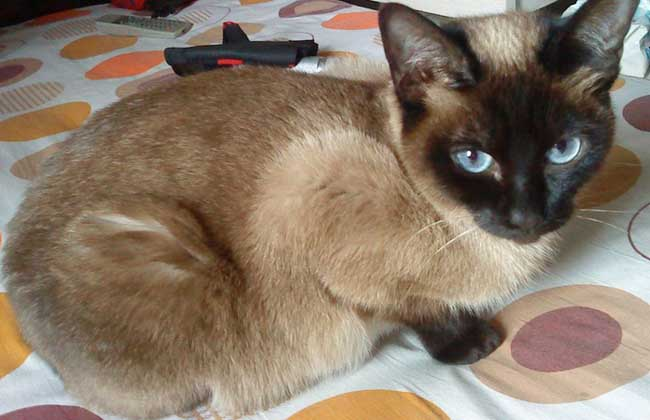 暹罗猫吃什么猫粮好?