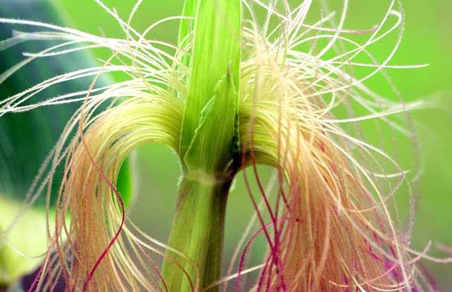 玉米须的副作用