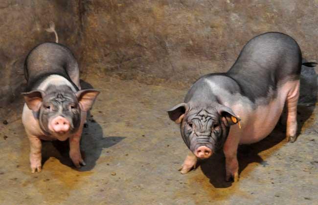 猪不吃食怎么办