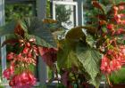 竹节秋海棠的养殖方法