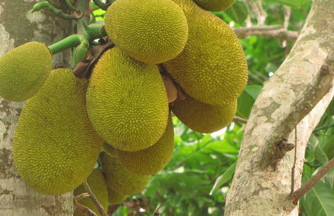 菠萝蜜多少钱一斤