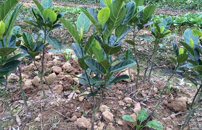 菠萝蜜种子怎么种