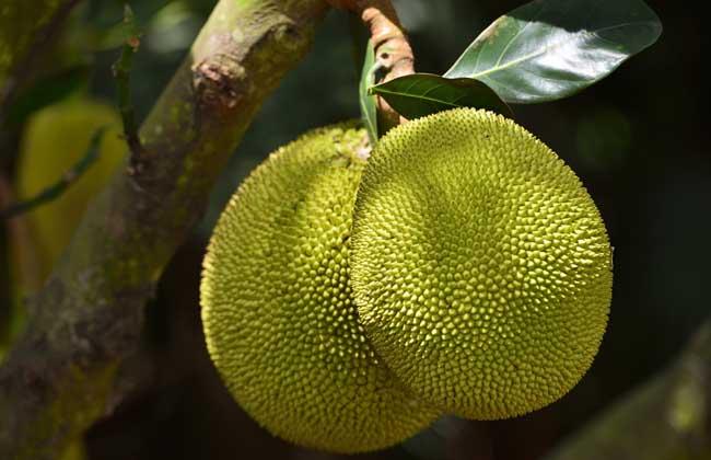 菠萝蜜的种植条件